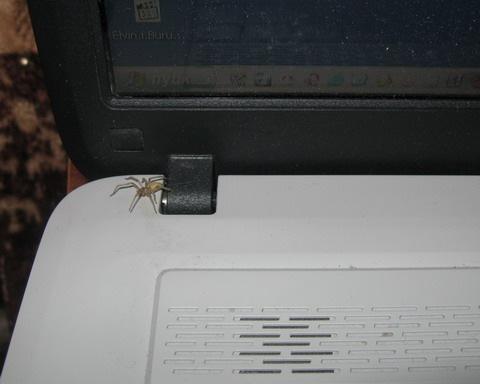 Паук компьютерный